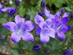 Bellflowers are a perfect addition for a shade garden
