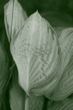 Beautiful hosta