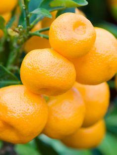 Calamondin, small citrus