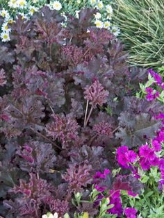 "Heuchera Crimson Curls  Coral Bell, Alum Root    Height: Short 10"" / Plant 20"" apart  Bloom Time: Late Spring to Summer  Sun-Shade: Full Sun to Mostly Shady  Zones: 4-9   Get Your Zone  Soil Condition: Normal, Acidic  Flower Color / Accent: White / White"