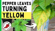 Growing Peppers, Pepper Plants, Yellow Leaves, Garden Plants, Turning, Harvest, Plant Leaves, The Creator, Geek Stuff