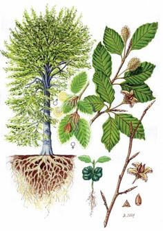 Buk lesní - Tipy do lesa - Vojenské lesy a statky dětem Vintage Botanical Prints, Botanical Drawings, Botanical Art, Tree Illustration, Botanical Illustration, Visual Perceptual Activities, Teaching Plants, Natural Structures, Planting Flowers