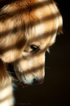 Golden Retriever by bztraining on Flickr