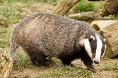 The European badger belongs to the weasel family which includes the otter, stoat, polecat, ferret and pine marten.