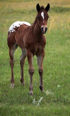Sheldak Ranch - 2018 Imaginate Foals for sale Breyer Horses For Sale, Horses And Dogs, Animals And Pets, Cute Animals, Farm Animals, Majestic Horse, Beautiful Horses, Cute Baby Horses, Quarter Horses For Sale