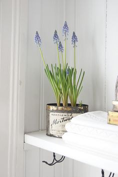 container garden in an old tin filled with delicate grape hyacinth...one of my favorite...