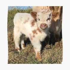 Cute Baby Cow, Baby Animals Super Cute, Cute Cows, Cute Little Animals, Cute Funny Animals, Baby Farm Animals, Baby Cows, Baby Animals Pictures, Cute Animal Pictures