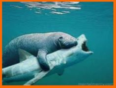 Shark riding manatee.  Shark doesn't look happy!  isn't one fresh water and the other salt water?