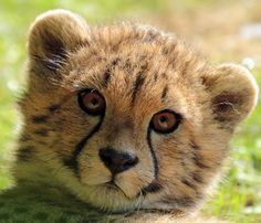 What a Darlin'! Baby Animals, Cute Animals, Animal Babies, African Cats, Baby Cheetahs, Cheetah Cubs, Serval, Leopards, Cute Animal Pictures