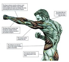 Image result for boxer muscle anatomy
