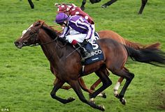 Camelot(2009)Montjeu- Tarfah By Kingmambo. 3x5x5 To Northern Dancer, 4x5 To Special, 5x5 To Native Dancer. 10 Starts 6 Wins 2 Seconds. Won Epsom Derby(Eng-1), 2000 Guineas(Eng-1), 2nd St Leger S (Eng-1) To Just Miss Becoming 1st Triple Crown Winner In More Than Forty Years. Also Won Racing Post Trophy(Eng-1), Mooresbridge S(Ire-3), 2nd Tattersalls Gold Cup(Ire-1). Entered Stud In 2014 At Coolmore In Ireland & Australia.
