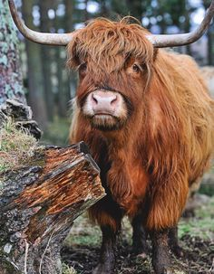 #highland cow#Hairycow#scottish @ Deedidit D....