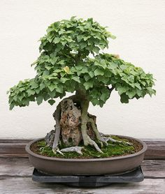 Trident Maple (Acer buergerianum) 'Miyasama Kaede' - In training since 1978 - Photo by cliff1066™ Cliff