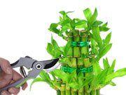 Como cultivar bambú de la suerte