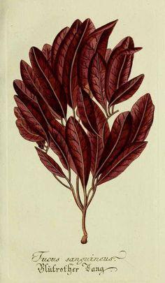 Plantarum indigenarum, illustration of blood red fucus - algae, 1792. By Lukas Hochenleitter und Kompagnie, Germany. Via Biodiversity Heritage Library.