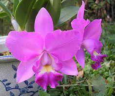 Costa Rica National Flower La Guaria Morada