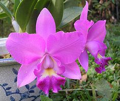 "flower of Costa Rica    ""guaria morada"" ~ orchid"