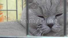 Video about Cat. Cat that does not like filming before the competition that still did not win. :) Filmed at the exhibition in Slovakia. Video of does, filming, exhibition - 73835175 Cat Cat, Cats, Sleepy Cat, Competition, Royalty Free Stock Photos, Film, Videos, Animals, Movie