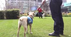 Guide Dogs Reunite With Their Siblings, But Will They Recognize Each Other?