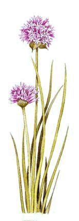 Maionese com flores de cebolinho (Ricette coi fiori: Maionese saporita con erba cipollina.)