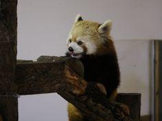 茶臼山動物園の子供パンダポポとジャジャの母ノン Red pandas レッサーパンダ 小熊猫