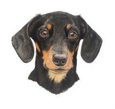 Daschund - Charcoal and pastels on Bristol Board Tiffany Landale - www.foxkay.co.uk Arte Dachshund, Bristol Board, Daschund, Charcoal, Pastels, Dogs, Tiffany, Animals, Club
