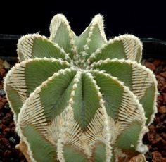 Aztekium hintonii                                                                                                                                                                                 Plus