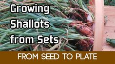 Complete Guide: How to Grow Shallots from Sets to Harvest #shallots My complete guide of how I grow shallots from sets to harvest. Trug is from http://amzn.to/2rZc4Dx Feed with http://ift.tt/2sV3N43 Check out my blog at http://seanjcameron.com which also includes guides on how to grow vegetables herbs flowers and fruit.  My Instagram - http://ift.tt/1N2gimV  My FaceBook Page - http://ift.tt/2rpMlZc  My Twitter - http://twitter.com/seanjcameron Support these videos by donating to the Patreon…