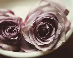 Lavender rose photograph pale light purple muted by dullbluelight, $30.00