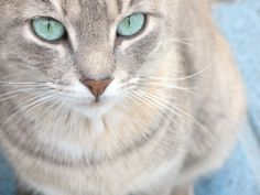 cream tabby cat - Google Search