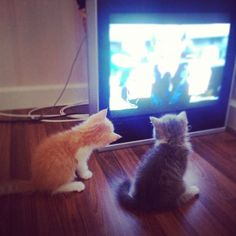 Unsanely cute kittens watching tv...