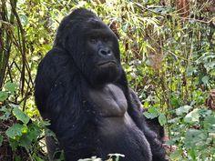 Imagem de agosto de 2015 mostra um gorila gigante no Parque Nacional de Virunga…