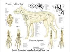 Dog Anatomy Nervous System Poster