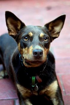 Australian Kelpie Dog. This one can excel in agility trials.
