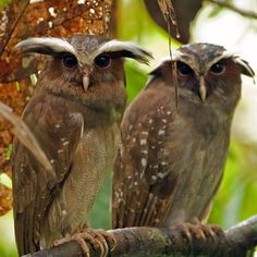 A beautiful pair of crested owls. The Crested Owl (Lophostrix cristata) is the only species (monotypic), in the genus Lophostrix. Beautiful Owl, Animals Beautiful, Cute Animals, Owl Photos, Owl Pictures, Pretty Birds, Love Birds, Owl Bird, Tier Fotos
