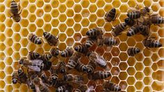 Un estudio de 18 años revela como de perjudiciales son los pesticidas para las abejas - http://www.renovablesverdes.com/un-estudio-de-18-anos-revela-como-de-perjudiciales-son-los-pesticidas-para-las-abejas/