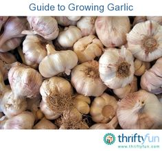 Garlic is prized for its culinary and medicinal uses. This is a guide about growing garlic. Organic Fertilizer, Organic Gardening, Vegetable Gardening, Greenhouse Gardening, Container Gardening, Gardening For Beginners, Gardening Tips, Herb Garden In Kitchen, Garden Fun