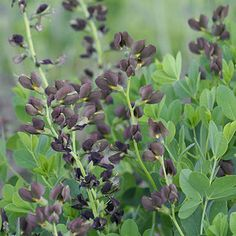 Baptisia 'Dutch Chocolate' a 2012 Proven Winners Introduction.