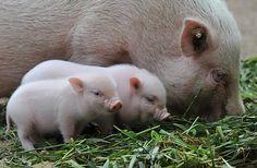 Mini mini pigs...