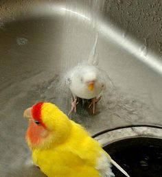 水浴び・・・と言うより滝修行に近い、うちのプリンちゃん@セキセイ!( ̄▽ ̄;) pic.twitter.com/orHDot0eF0