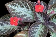 flame violet, episcia cupreata, flowering houseplant