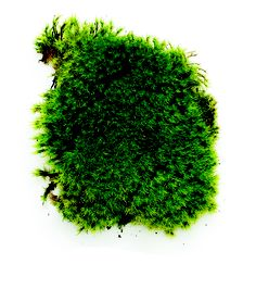 Rock cap moss (Dicranum) will prosper in deep shade.