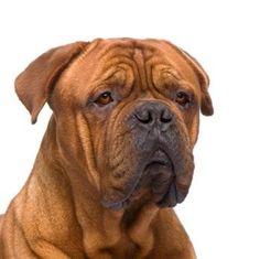 Rare Mastiff Breeds