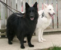 Black and White German Shepherds - Female white / Male black.