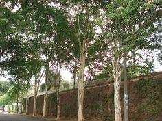 """PAU FERRO  """"Essa imagem mostra que é possível plantar árvores em calçadas com 1,8 m de largura. Basta deixar reservado 1,2 m de passeio livre para os pedestres e cadeirantes."""" https://plantandovida.wordpress.com/2012/07/08/arbustizacao-ou-arborizacao-urbana/"""