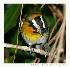 Reina Mora macho-Puerto Rican Spindalis-Spindalis portoricensis-Miradero, Mayaguez.