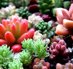 Succulents in many colors