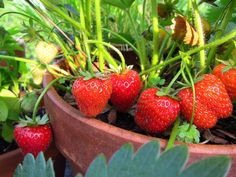 Make It Happen: Strawberries in a Small Space We know what you're thinking: you'd...