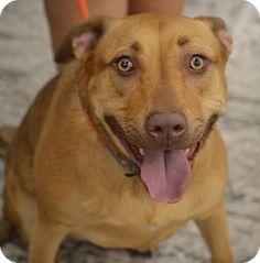 Albemarle, NC - Labrador Retriever/Pit Bull Terrier Mix. Meet Gypsy, a dog for adoption. http://www.adoptapet.com/pet/11153010-albemarle-north-carolina-labrador-retriever-mix