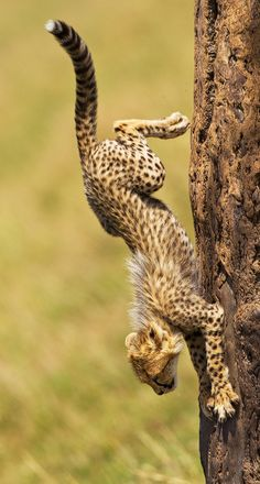 kingdom-of-animals:    Descending Cheetah by Stephen Earle.